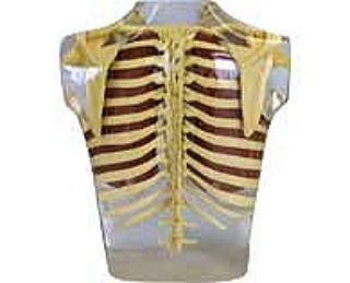 肩甲骨の位置1