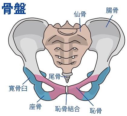 骨盤・仙骨・寛骨・坐骨・尾骨