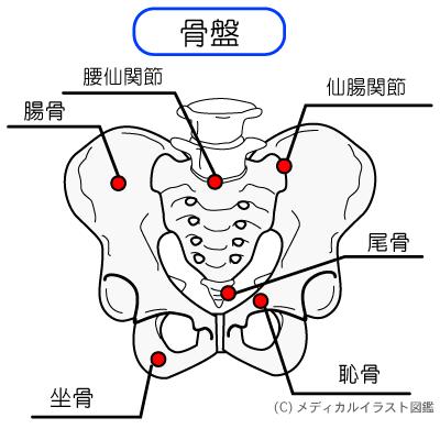 骨盤周りの関節:仙腸関節、腰仙関節、腸骨、尾骨、坐骨、恥骨