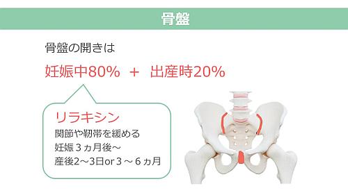 リラキシンの放出で妊娠中80%+出産時20%骨盤が広がる