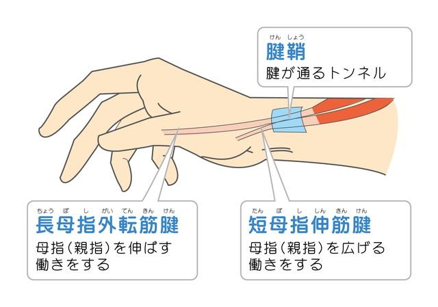 腱鞘:腱が通るトンネル:長拇指外転筋腱ー拇指(親指)を伸ばす働きをします 短拇指新筋腱ー拇指(親指)を広げる働きをします