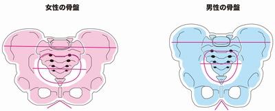 女性の骨盤は幅が広く男性の骨盤は狭く縦型