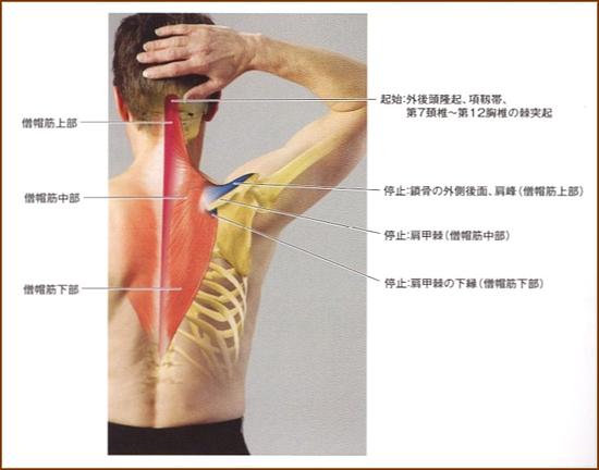 僧帽筋解剖図