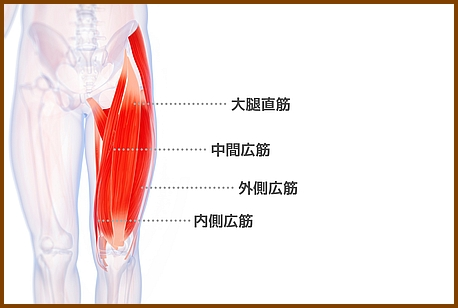 膝の痛みは大腿四頭筋