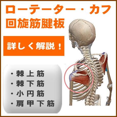 ローテーターカフ回旋筋腱板を詳しく解説
