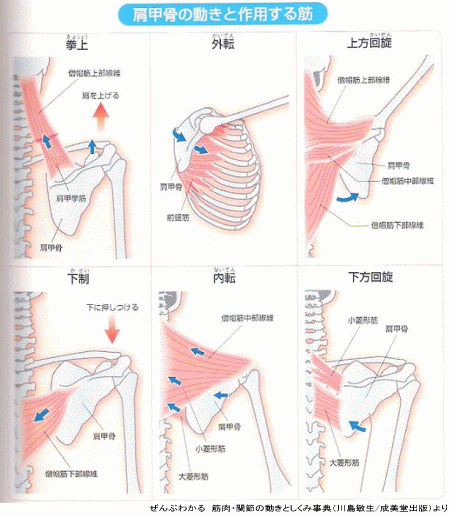 肩甲骨の動きと作用する筋