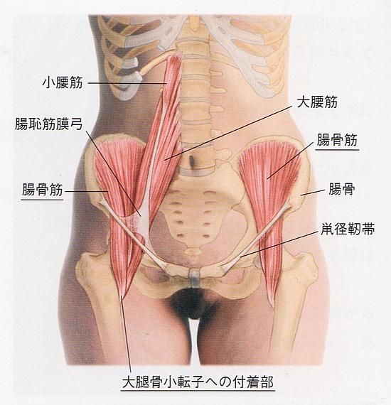 腸腰筋の解剖