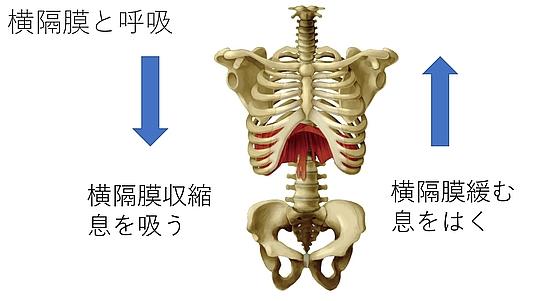 腰方形筋は呼吸にも関係