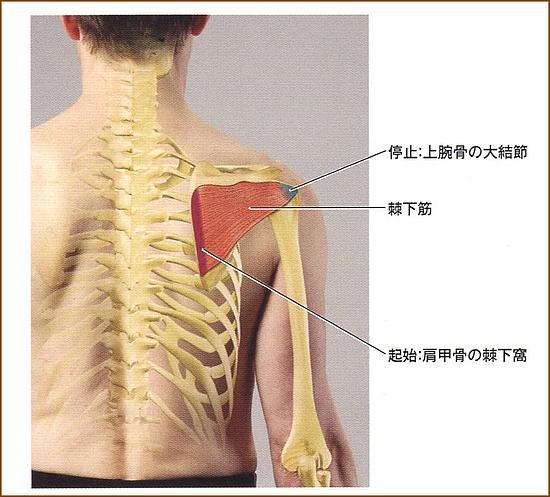 棘下筋の詳細