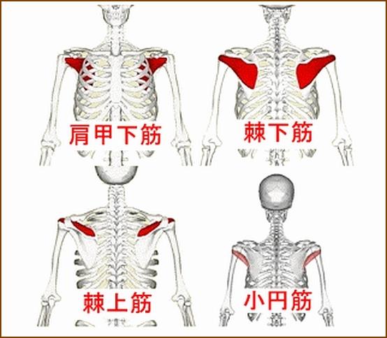 肩甲下筋はローテーターカフの一部