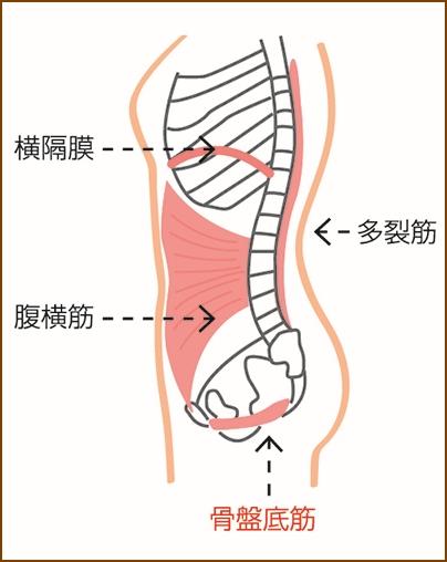 お腹の筋肉と骨盤底筋