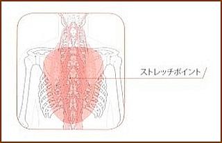 脊柱起立筋のストレッチポイント