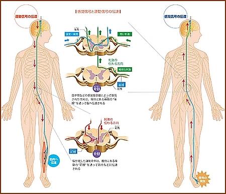 痛みや熱さの神経の流れ