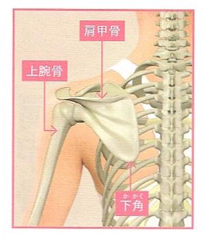 肩甲骨は腕と連動して動く