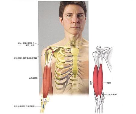 上腕二頭筋は、腕の中では最も浅層にある筋肉の一つ