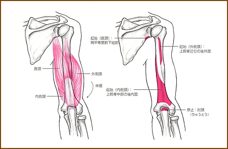 上腕三頭筋の位置と起始部と停止部