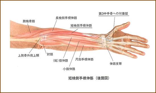 長橈側手根伸筋の機能的解剖、どんな役割の筋肉