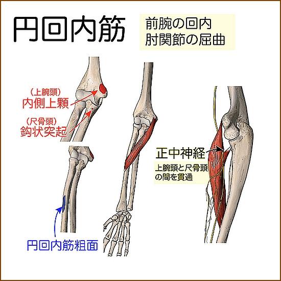 円回内外筋はどんな作用の筋肉