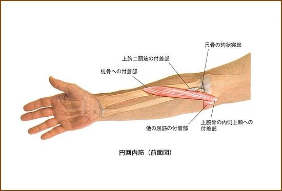 円回内筋の位置と起始部と停止部