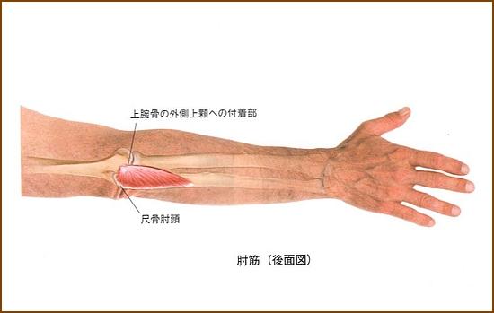 肘筋の機能的解剖