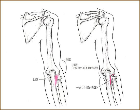肘筋の位置と起始部と停止部