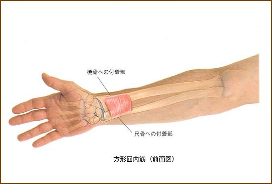 方形回内筋の位置と起始部と停止部