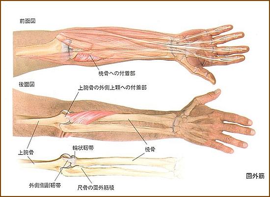 回外筋の機能的解剖