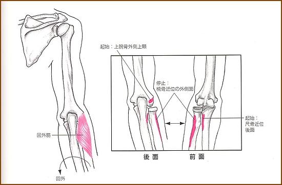 回外筋の位置と起始部と停止部