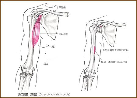 烏口腕筋の機能的解剖