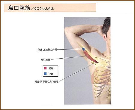 烏口腕筋の位置と起始部と停止部