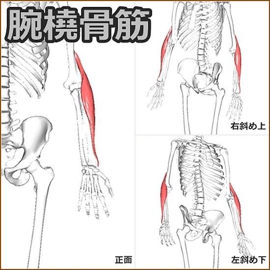 腕橈骨筋の機能的解剖