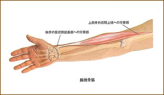 腕橈骨筋の位置と起始部と停止部