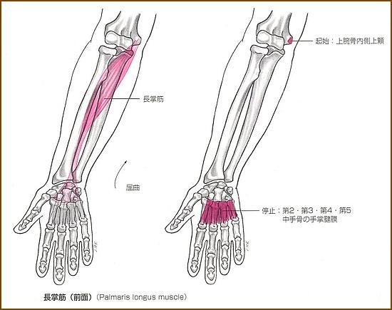 長掌筋の位置と起始部と停止部