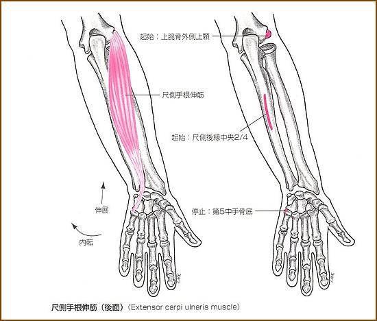 尺側手根伸筋の位置と起始部と停止部
