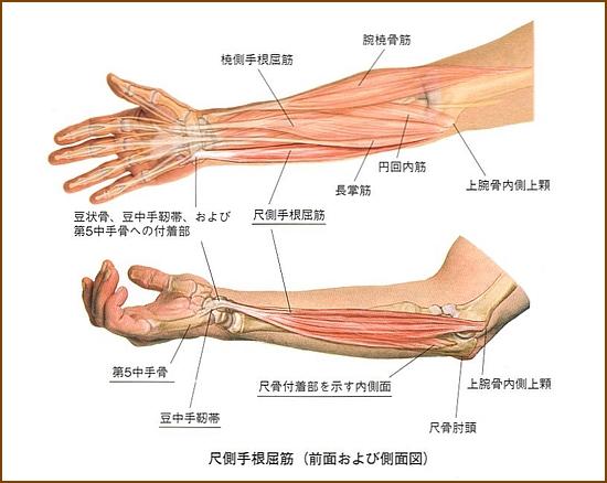 尺側手根屈筋の役割や作用と起始と停止