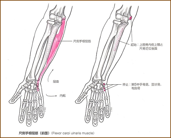 尺側手根屈筋の「位置」と「起始部と停止部」は?