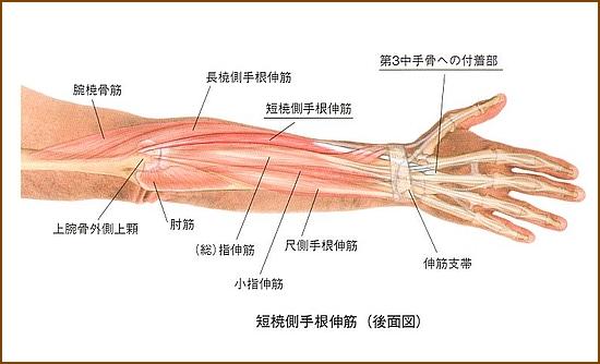 短橈側手根伸筋の位置と起始部と停止部