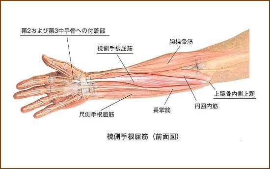 撓側手根屈筋の機能的解剖、どんな役割の筋肉