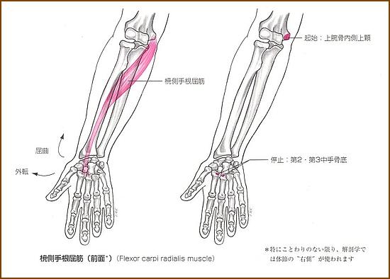 橈側手根屈筋の位置と起始部と停止部