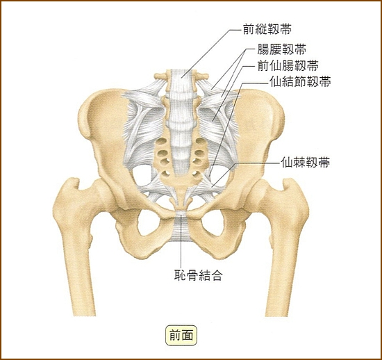 仙腸関節の前面