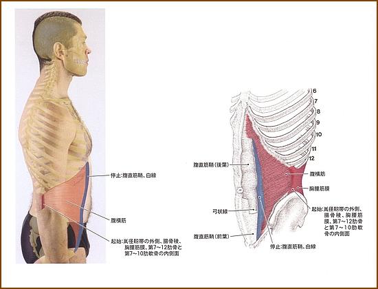 腹横筋の位置と起始部と停止部は