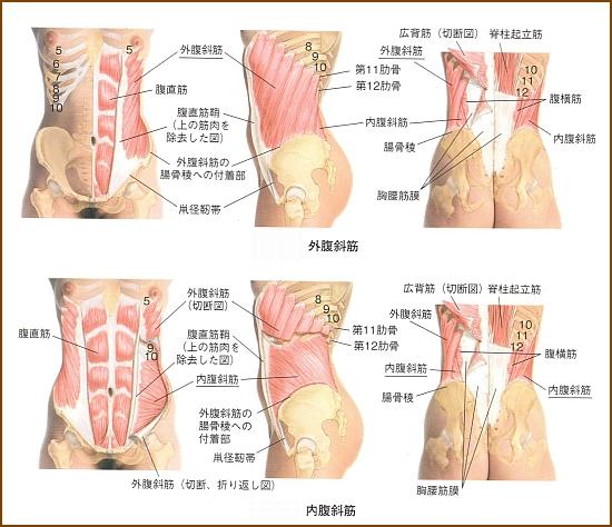 お腹の横の筋肉「外腹斜筋」を鍛える筋トレやストレッチ