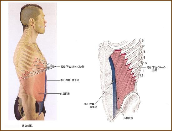 横っ腹の外腹斜筋はどんな役割の筋肉?その機能的解剖とは