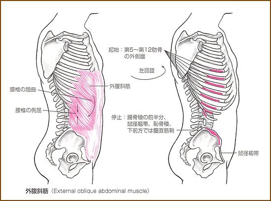 外腹斜筋の「位置」と「起始部と停止部」は