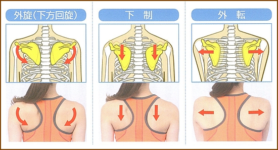 肩甲骨の動きの作用は6種類2