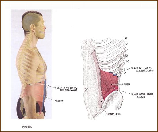 内腹斜筋作用