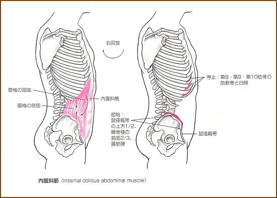 内腹斜筋の「位置」と「起始部と停止部」